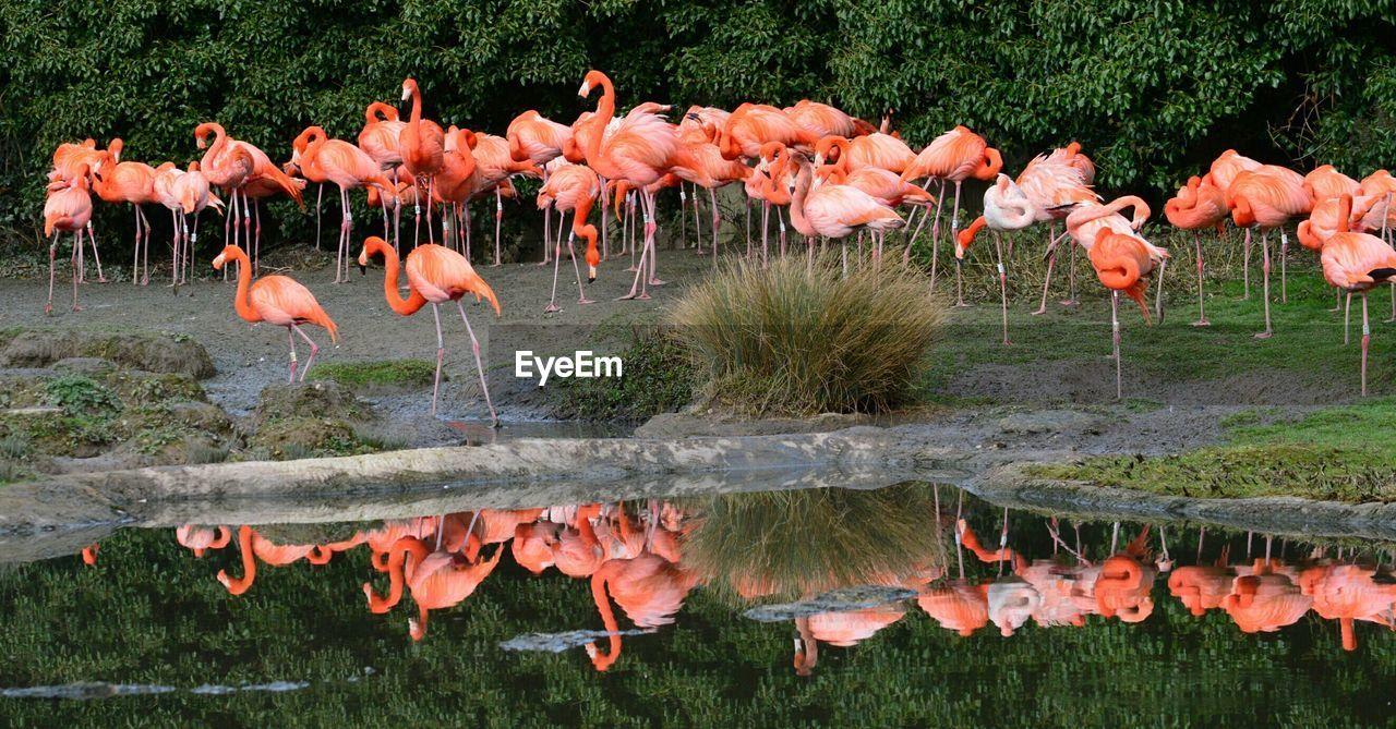 Flock of flamingoes at lakeshore