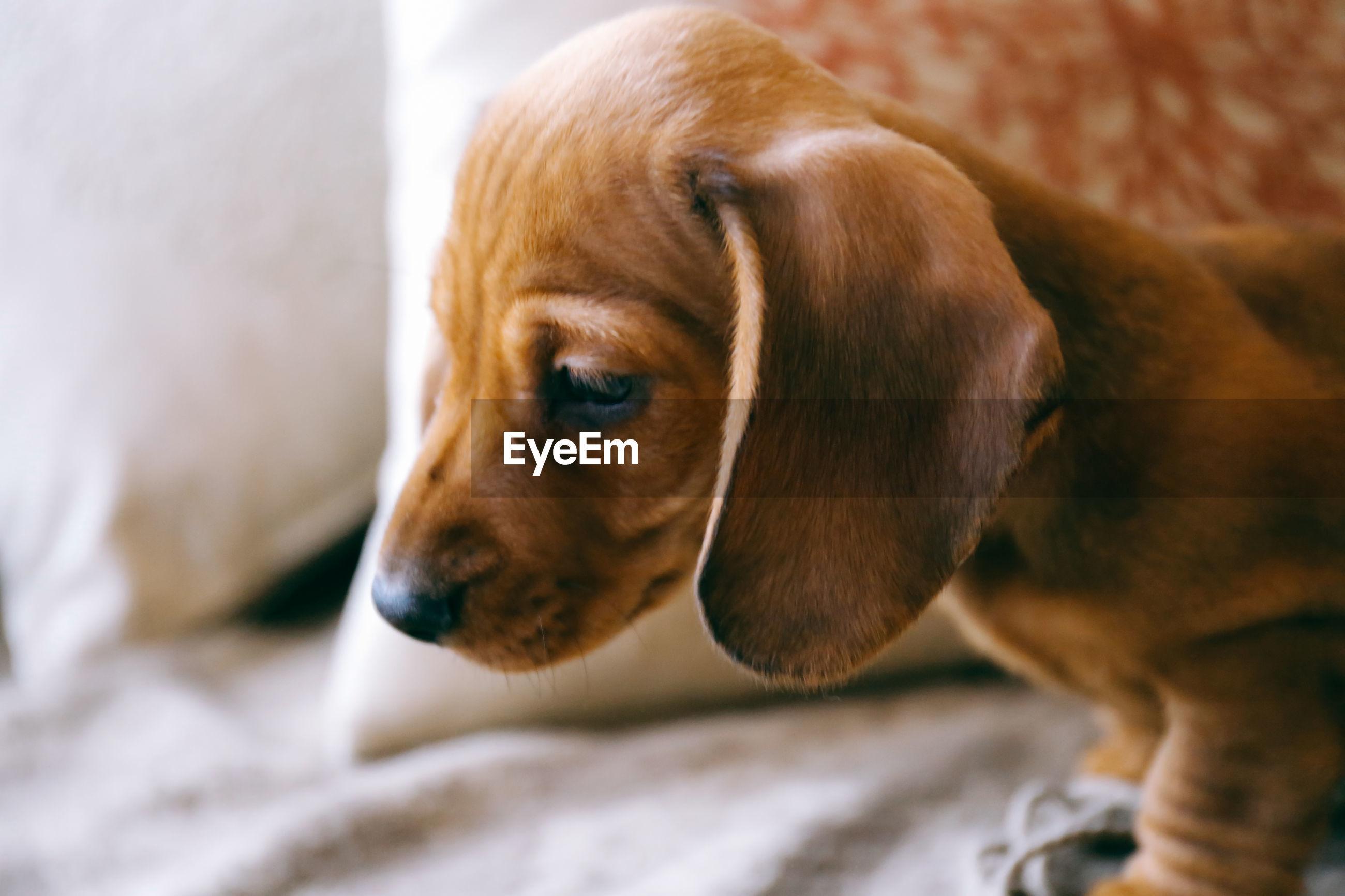 Close-up of beagle puppy on sofa