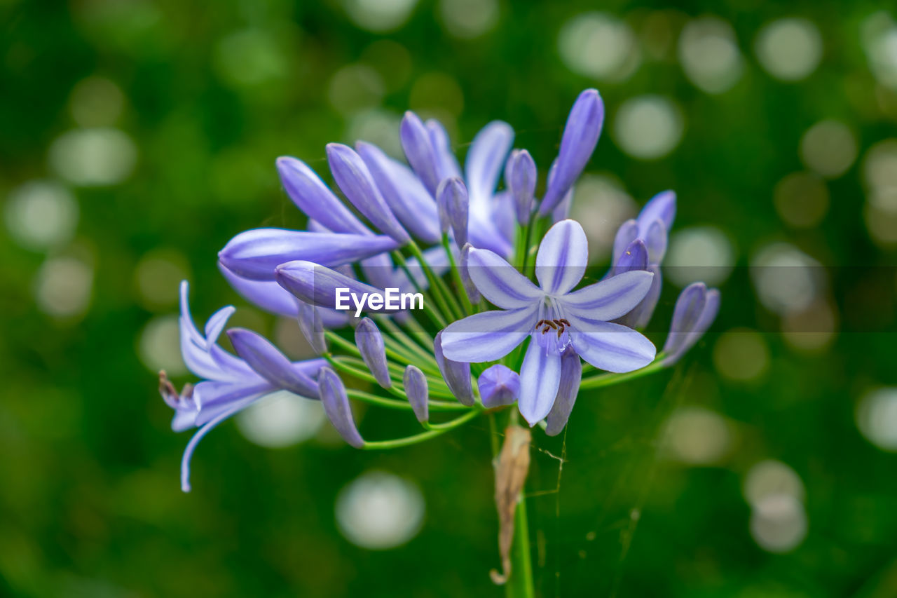 flower, flowering plant, fragility, plant, vulnerability, beauty in nature, close-up, freshness, petal, purple, growth, inflorescence, focus on foreground, nature, flower head, no people, day, selective focus, outdoors, plant stem