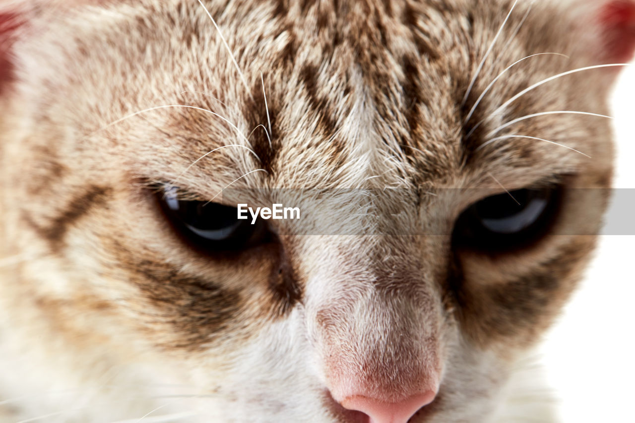 mammal, animal, animal themes, one animal, domestic, cat, domestic animals, pets, domestic cat, feline, close-up, vertebrate, animal body part, animal head, looking at camera, portrait, no people, eye, whisker, focus on foreground, animal eye, snout, tabby