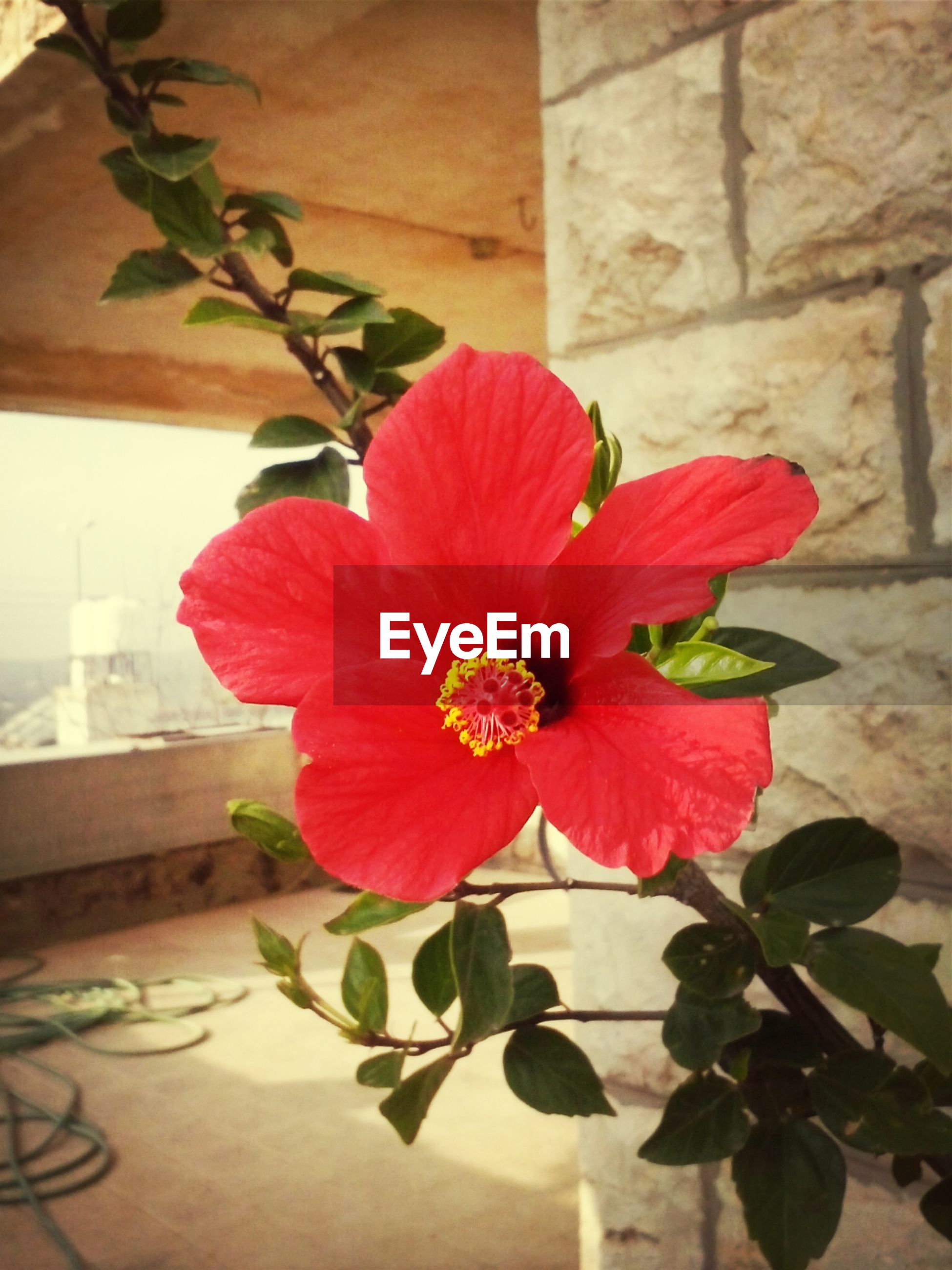 flower, petal, fragility, freshness, flower head, growth, plant, beauty in nature, leaf, red, close-up, nature, potted plant, indoors, blooming, single flower, blossom, wall - building feature, in bloom, vase