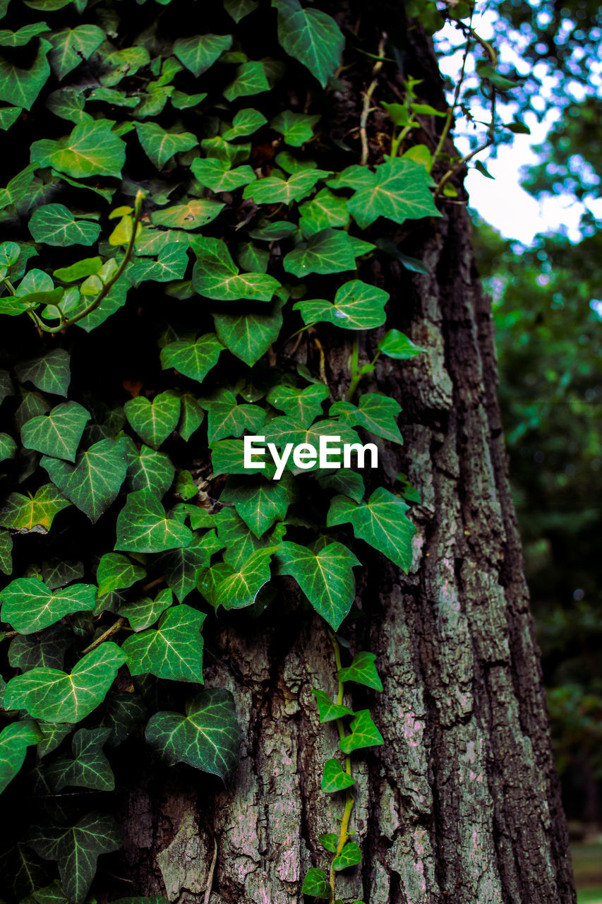 plant, growth, tree, tree trunk, trunk, green color, nature, day, plant part, leaf, no people, focus on foreground, close-up, outdoors, beauty in nature, ivy, land, forest, bark, creeper plant, lichen