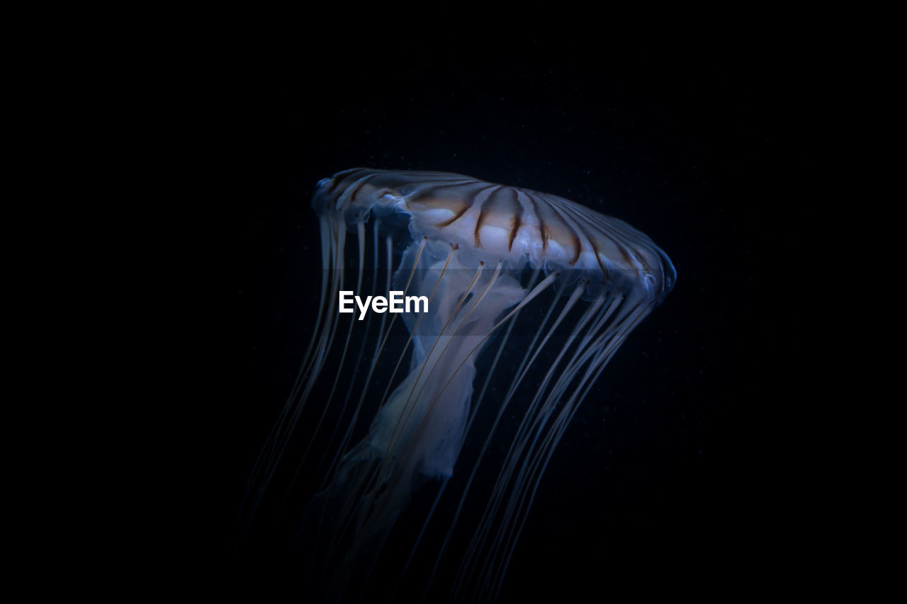 Close-Up Of Jellyfish Swimming In Aquarium