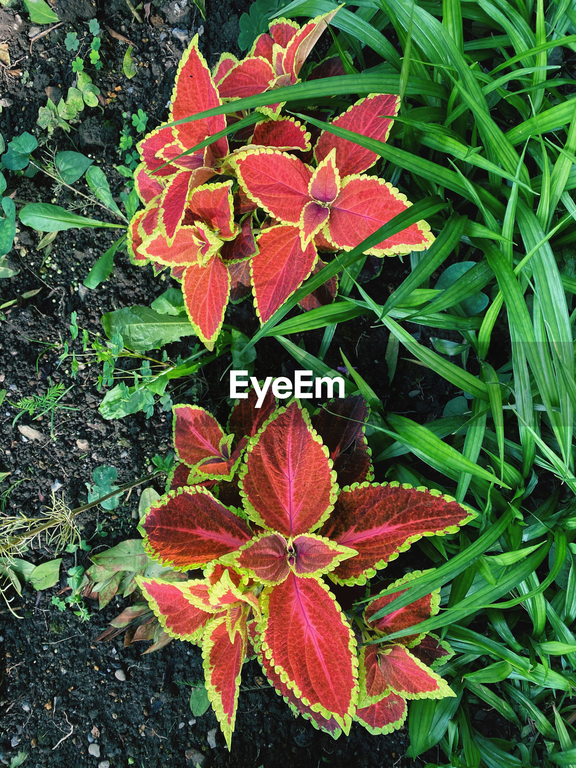 HIGH ANGLE VIEW OF RED FLOWERING PLANT ON LEAF