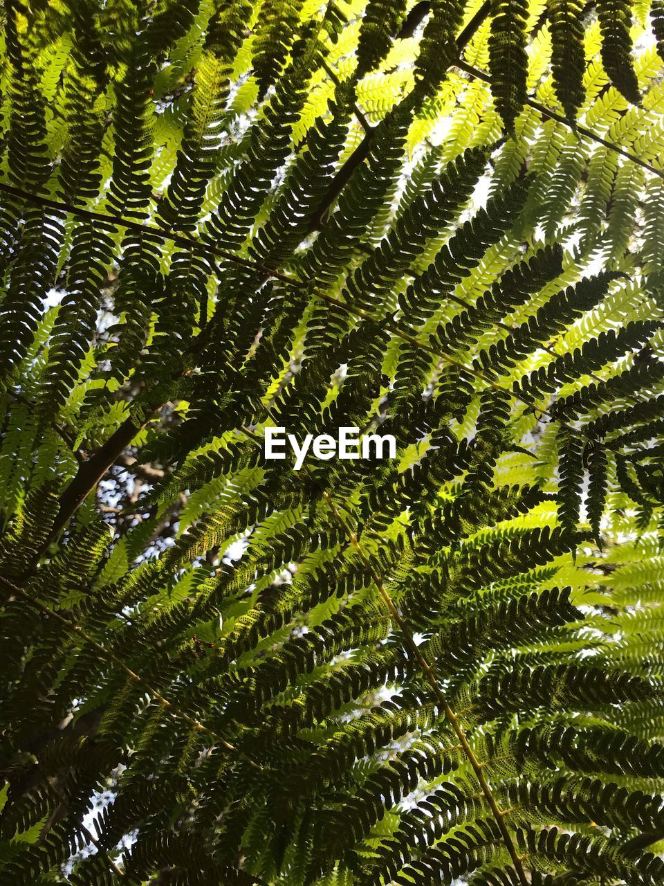 plant, leaf, plant part, growth, beauty in nature, green color, tree, nature, no people, full frame, fern, backgrounds, day, close-up, freshness, sunlight, outdoors, forest, tranquility, botany, leaves, palm leaf