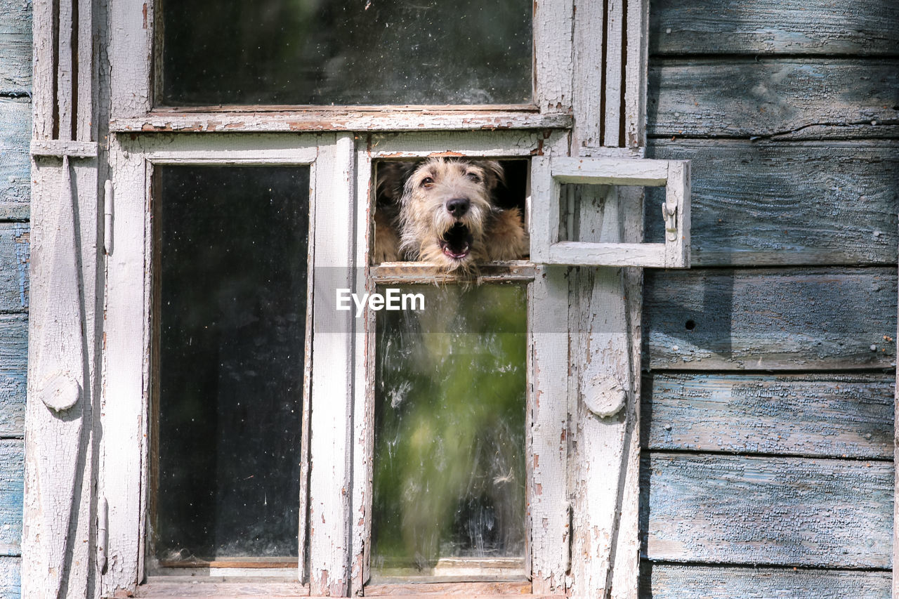 canine, dog, mammal, domestic, one animal, pets, animal themes, domestic animals, animal, window, vertebrate, wood - material, day, no people, entrance, door, house, architecture, building exterior, built structure, outdoors