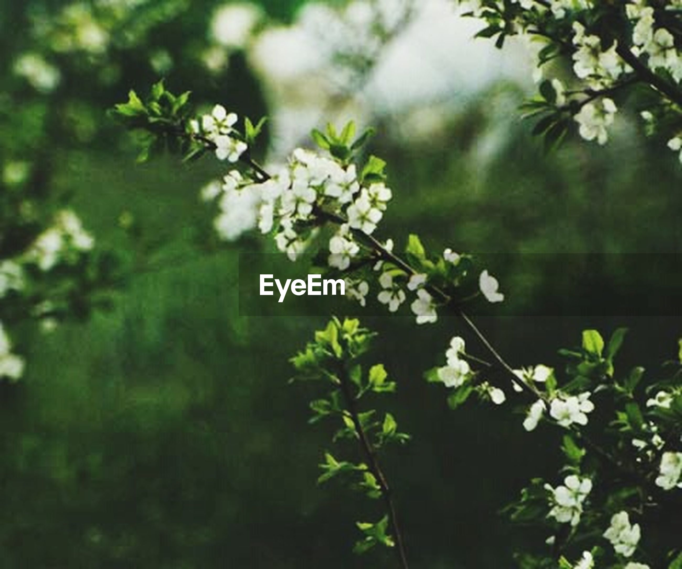 growth, flower, focus on foreground, leaf, freshness, nature, plant, beauty in nature, branch, close-up, tree, green color, fragility, selective focus, day, outdoors, stem, white color, twig, no people