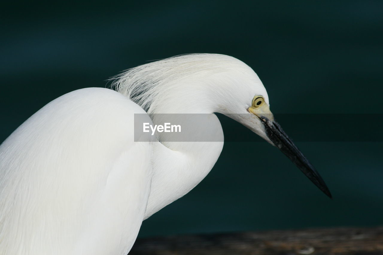 Close-Up Of White Egret Looking Down