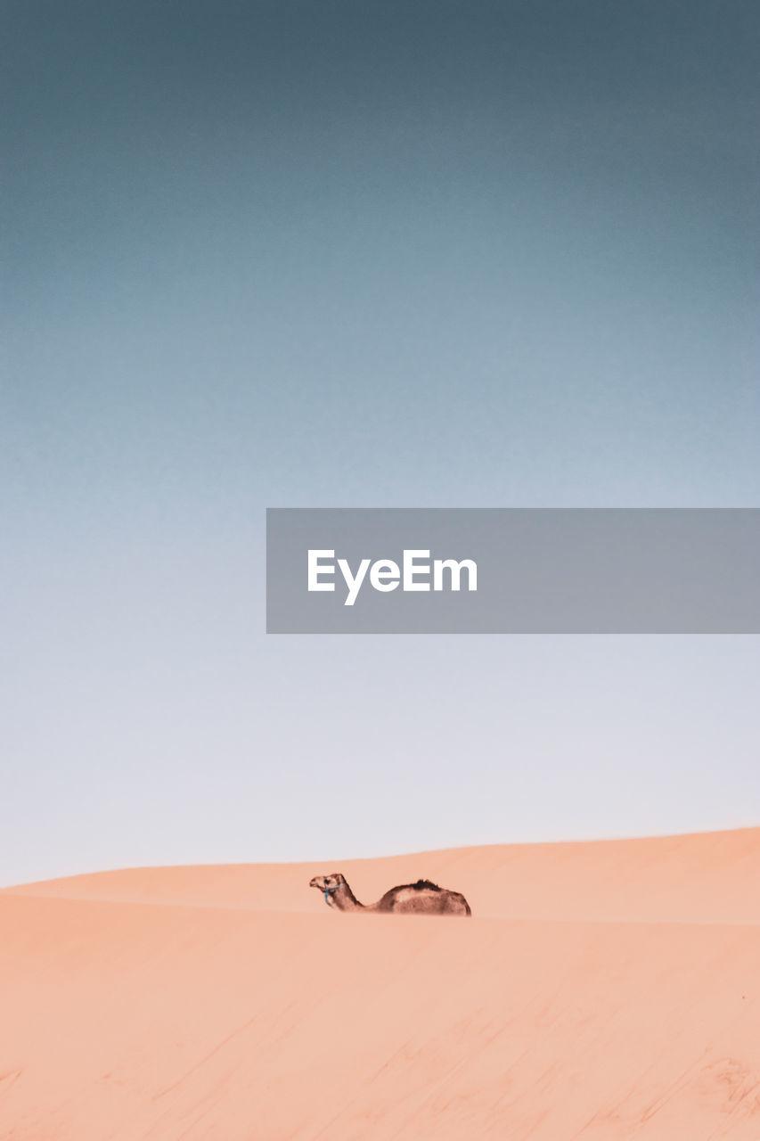 Camel on sand dunes against clear sky