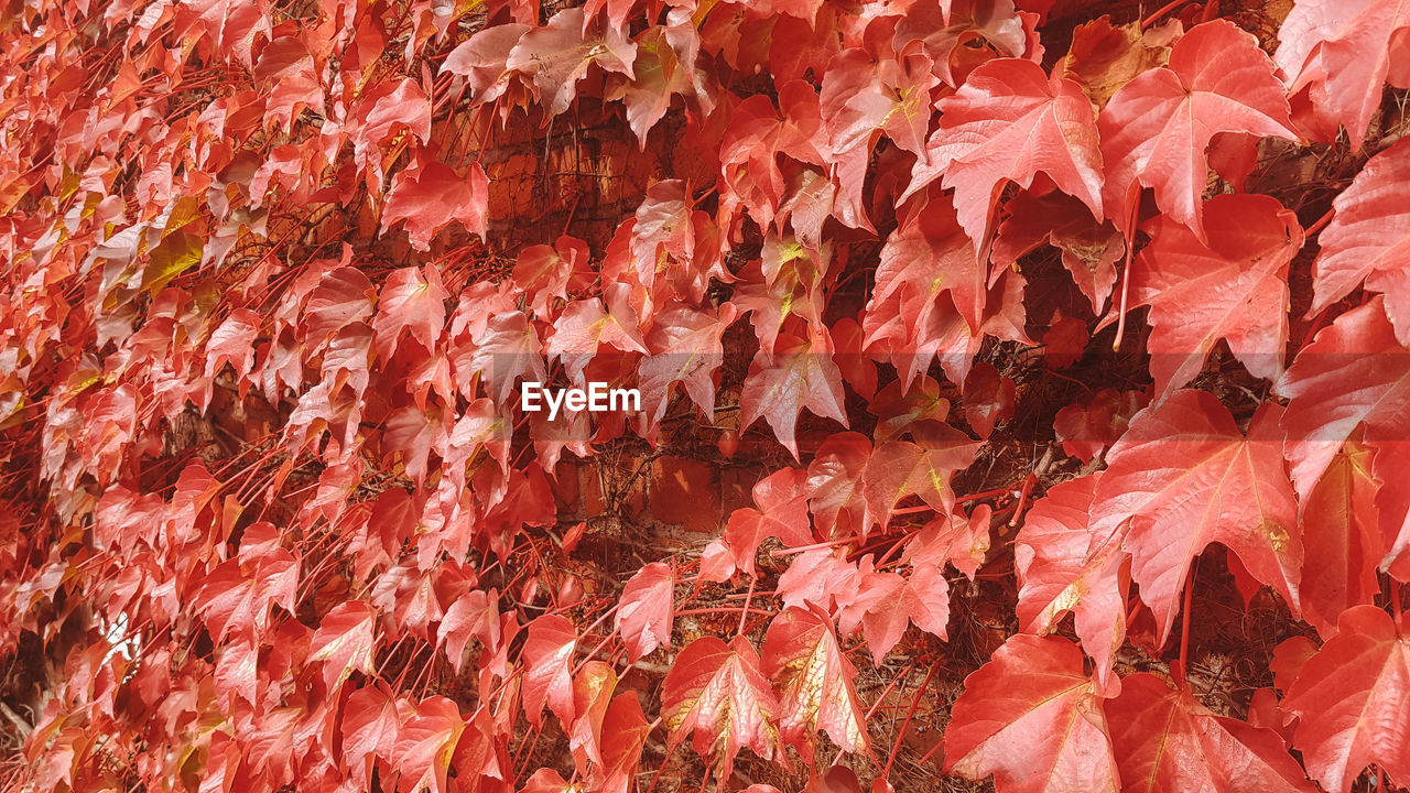 full frame, red, backgrounds, no people, close-up, leaf, plant part, autumn, day, nature, abundance, large group of objects, change, leaves, pattern, beauty in nature, outdoors, food, large group of animals, still life, maple leaf