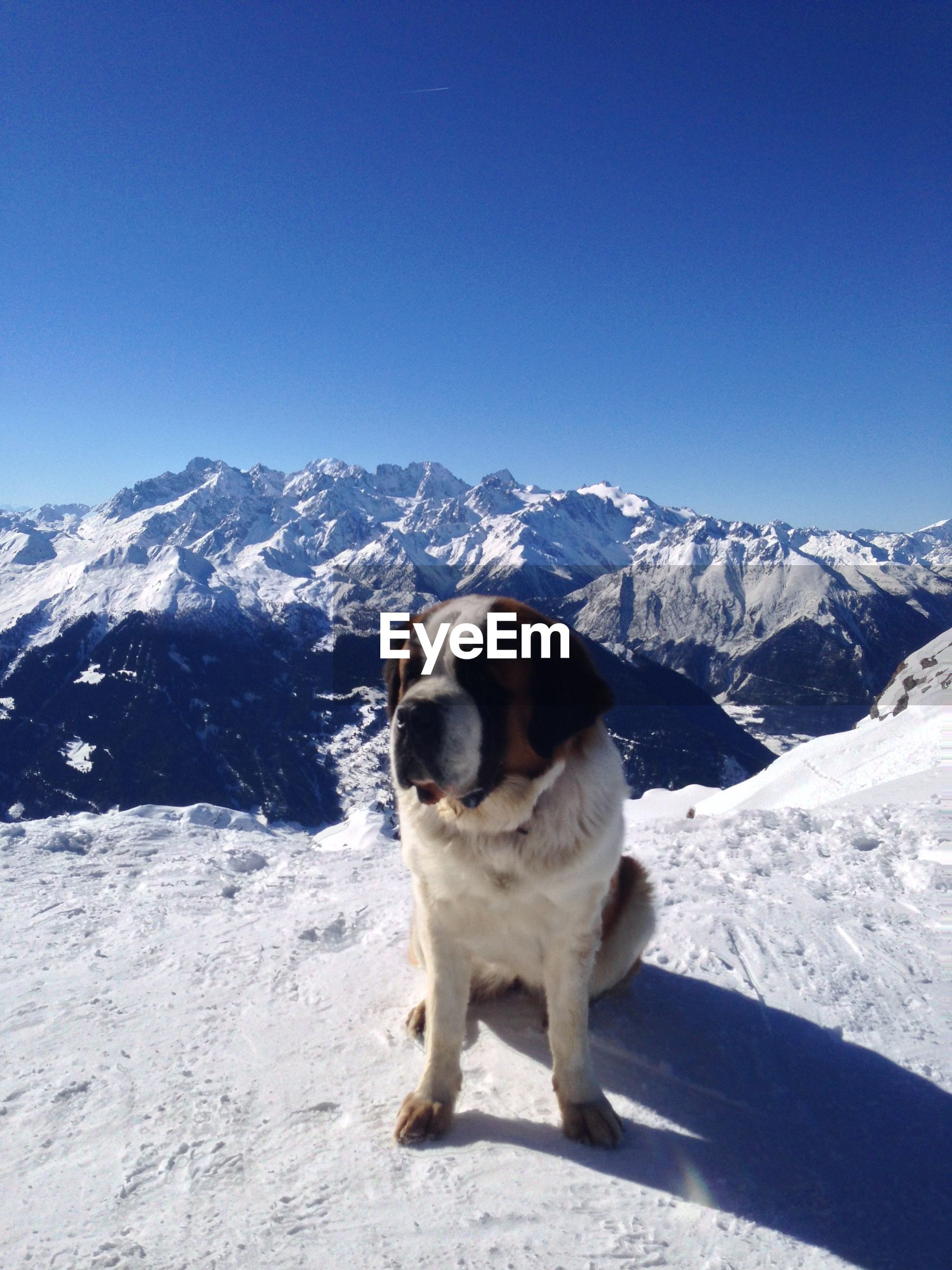 Saint bernard against snow covered mountains against clear blue sky