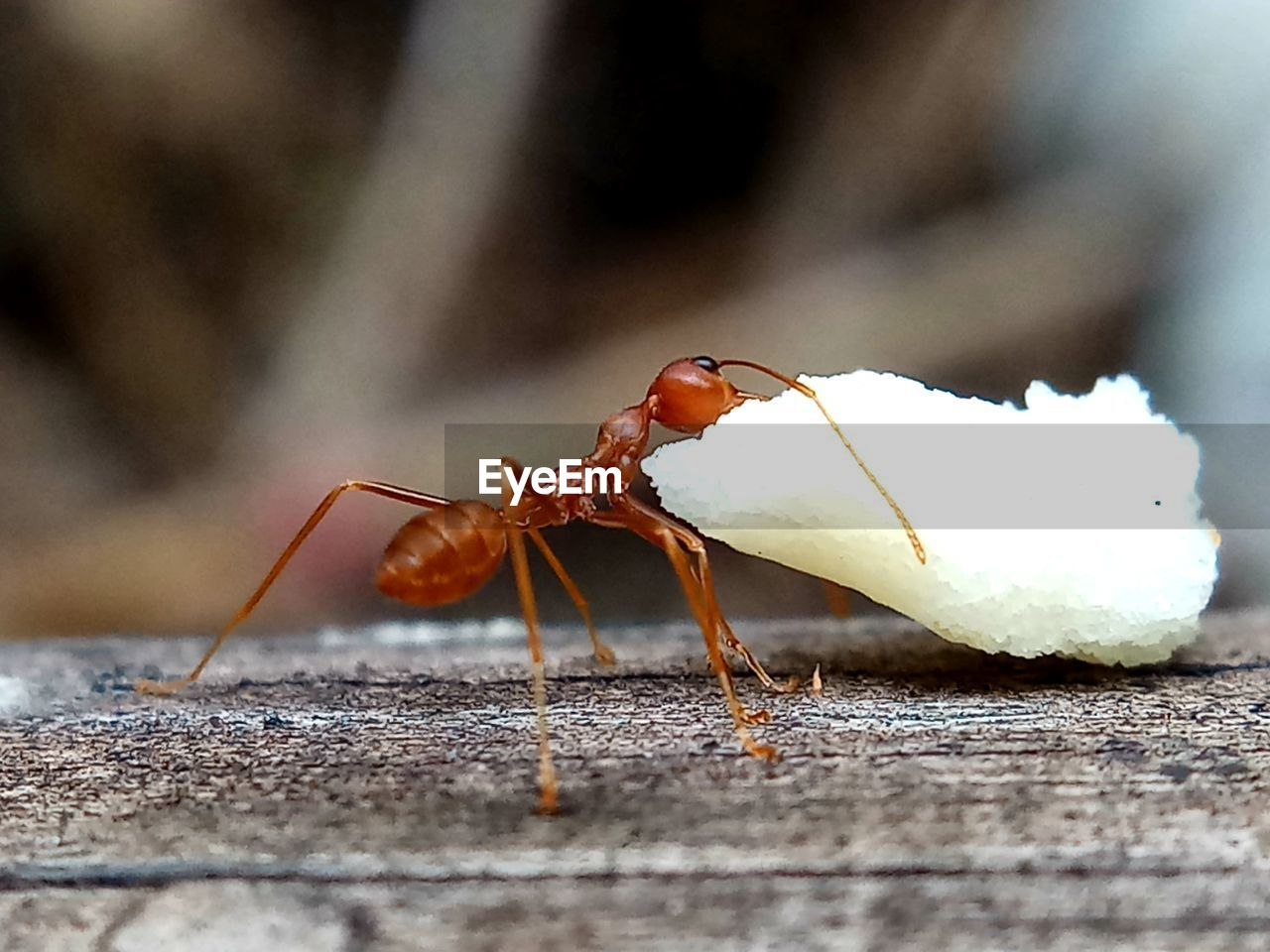 close-up, invertebrate, animals in the wild, animal themes, animal wildlife, animal, insect, selective focus, day, one animal, no people, nature, ant, outdoors, animal body part, wood - material, zoology, leaf, focus on foreground, beauty in nature