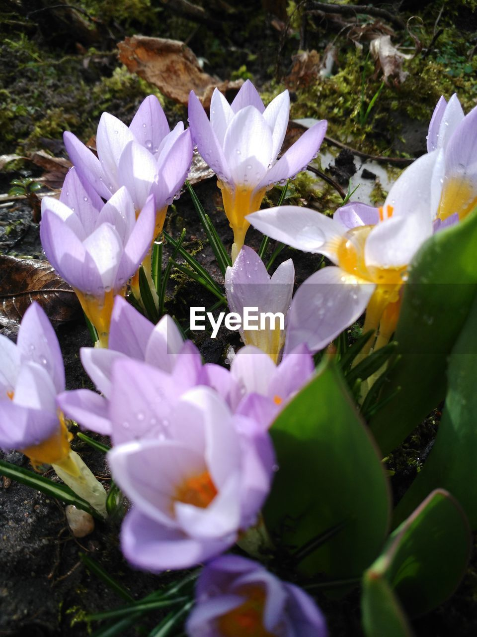 flower, petal, beauty in nature, fragility, nature, growth, freshness, flower head, outdoors, day, blooming, plant, purple, no people, water, close-up, crocus