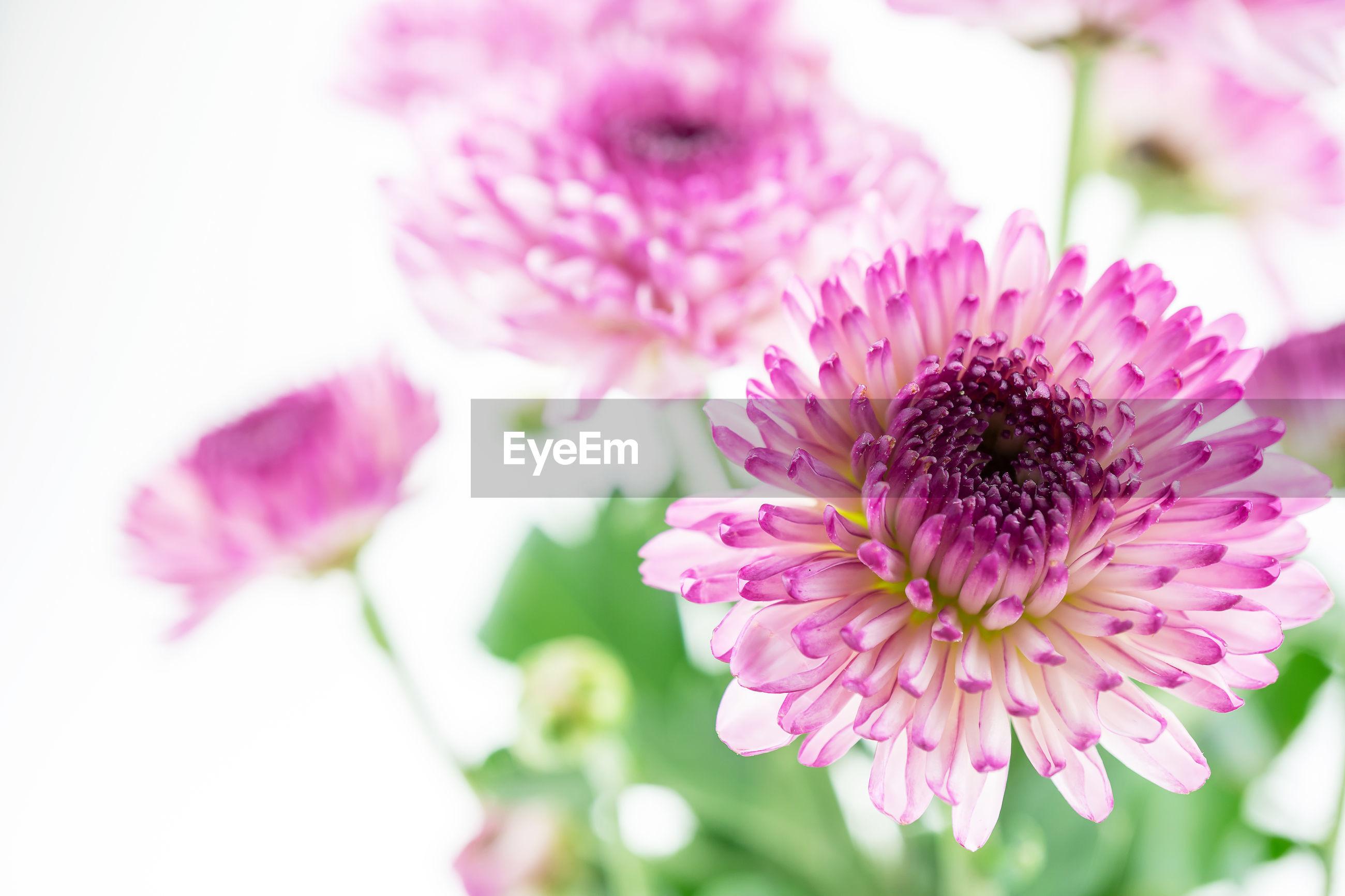 CLOSE-UP OF PINK FLOWERING PURPLE FLOWER