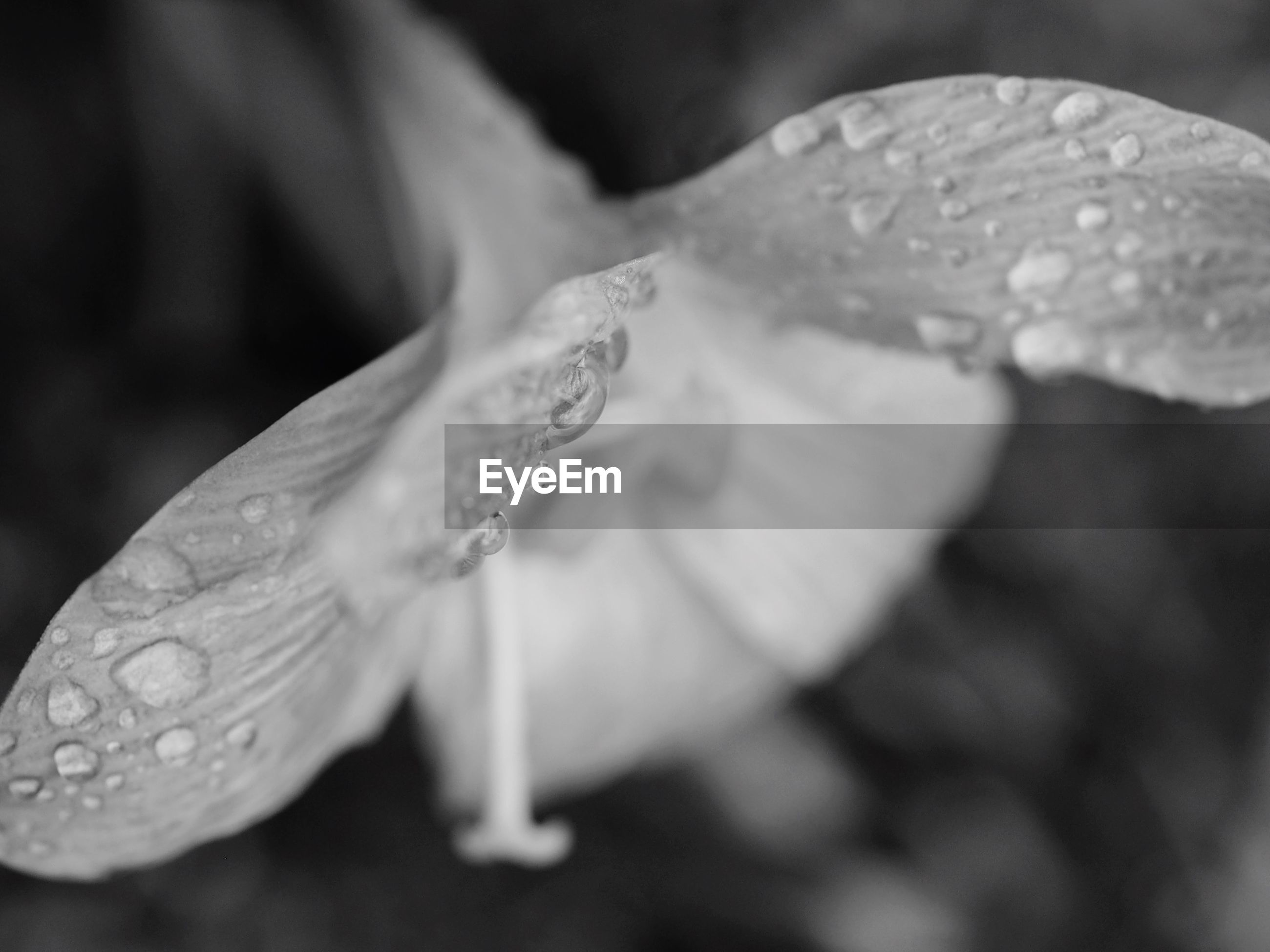 drop, water, freshness, wet, fragility, flower, close-up, petal, growth, beauty in nature, dew, nature, flower head, plant, focus on foreground, droplet, water drop, raindrop, selective focus, leaf