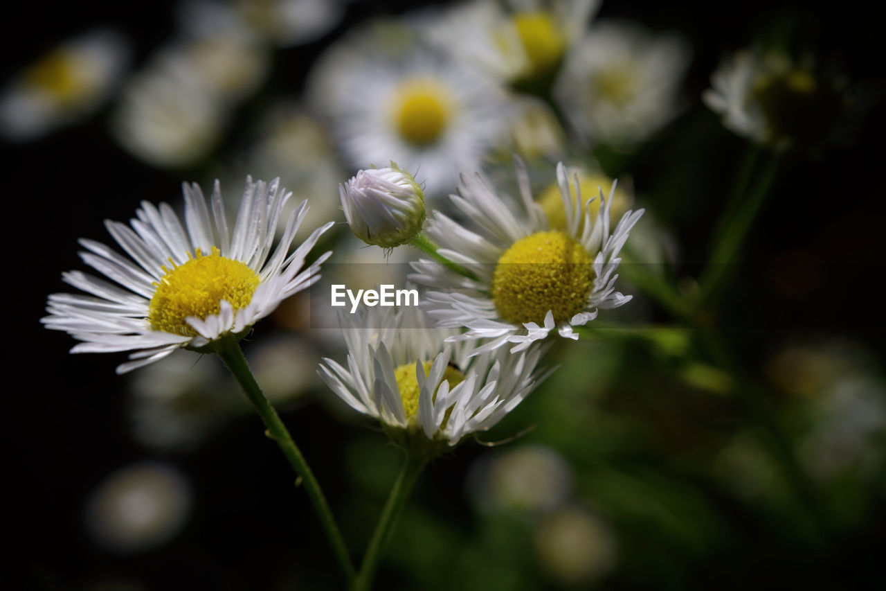 flower, flowering plant, fragility, vulnerability, plant, freshness, beauty in nature, growth, petal, flower head, close-up, inflorescence, white color, selective focus, nature, pollen, daisy, focus on foreground, day, no people, outdoors