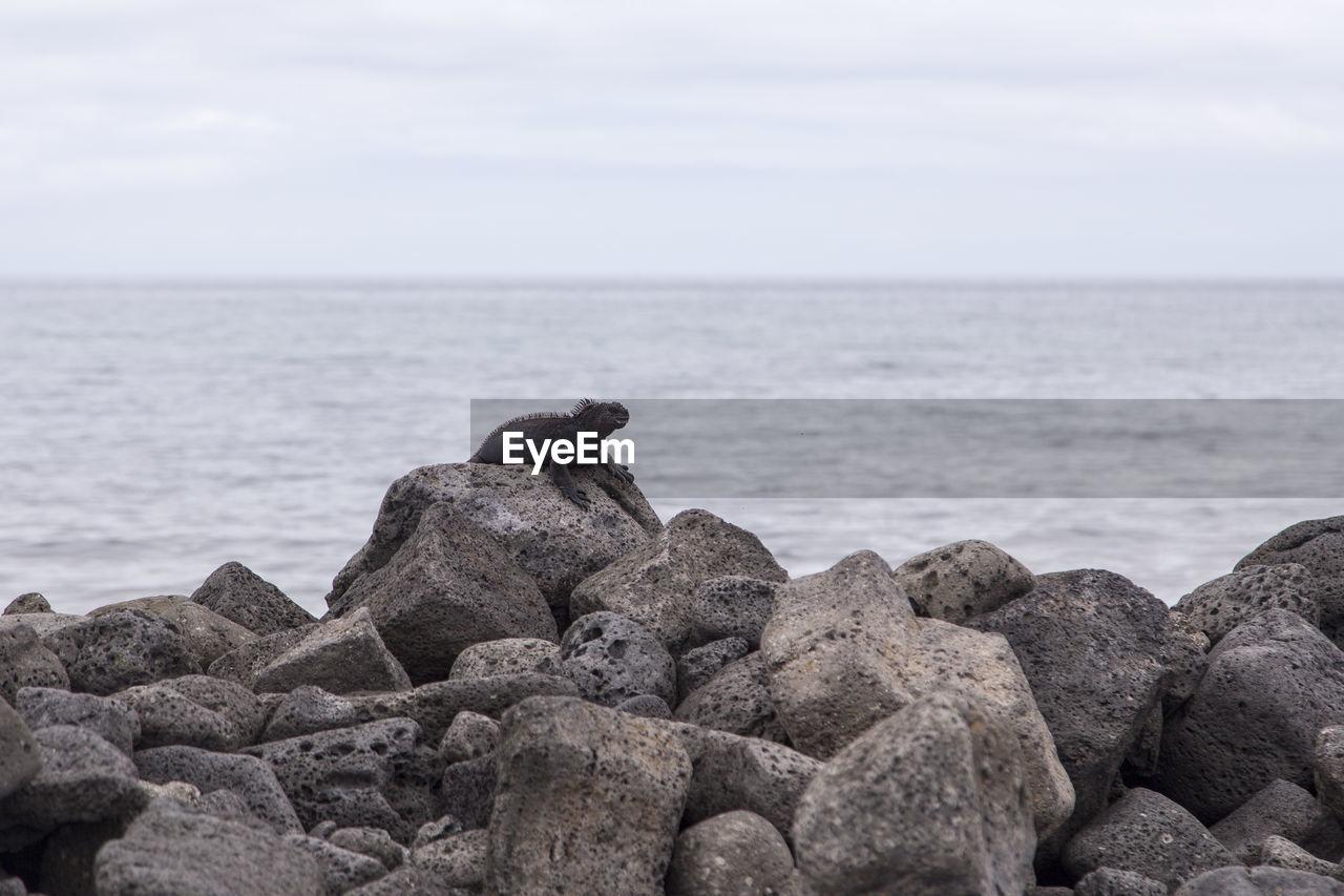 sea, rock, water, solid, rock - object, horizon over water, sky, horizon, animal wildlife, no people, one animal, nature, day, scenics - nature, animals in the wild, beauty in nature, animal themes, animal, beach, outdoors, marine, pebble, iguana
