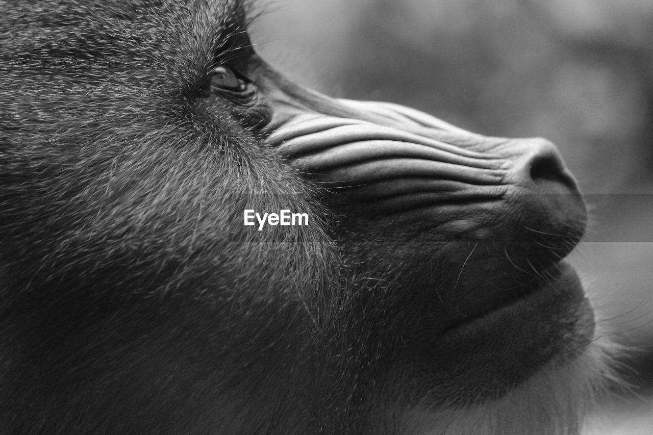 one animal, animal themes, animal, mammal, animal body part, vertebrate, close-up, animal head, domestic, domestic animals, animal wildlife, pets, no people, monkey, day, focus on foreground, animals in the wild, primate, animal eye, whisker, animal nose, animal mouth, snout, herbivorous