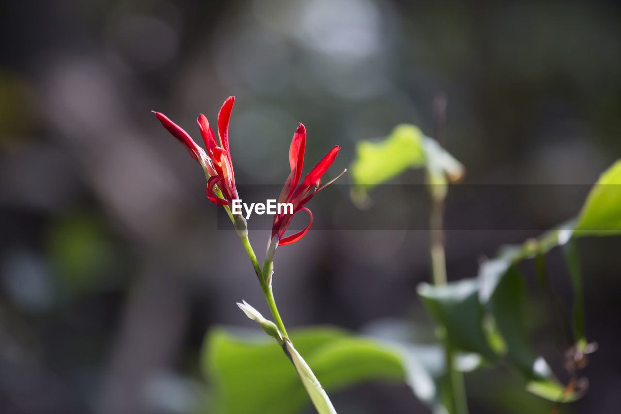 red, growth, plant, beauty in nature, focus on foreground, leaf, plant part, close-up, vulnerability, day, nature, fragility, no people, freshness, flower, green color, outdoors, flowering plant, selective focus, petal, flower head