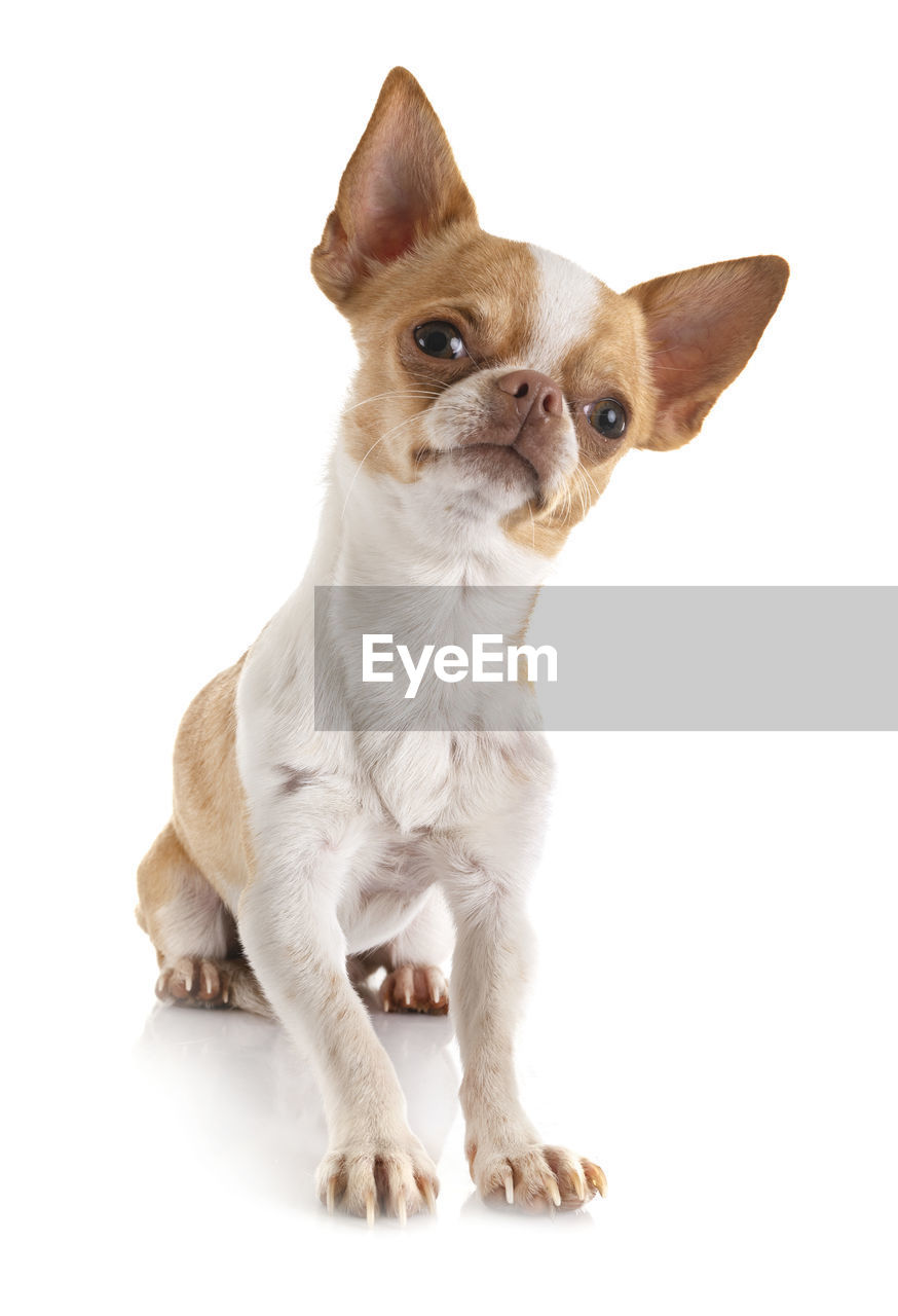 studio shot, one animal, domestic animals, domestic, white background, pets, animal, mammal, animal themes, vertebrate, indoors, cut out, dog, canine, no people, sitting, cute, full length, looking, looking away, small, chihuahua - dog