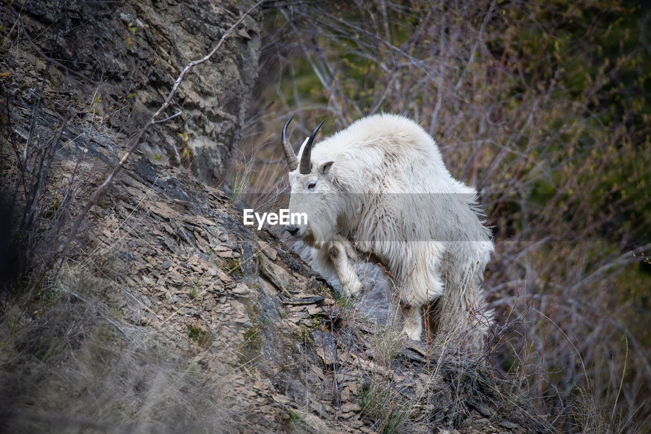mammal, animal themes, animal, one animal, animal wildlife, animals in the wild, vertebrate, plant, tree, nature, land, domestic animals, wolf, no people, domestic, day, pets, outdoors, forest, standing, herbivorous