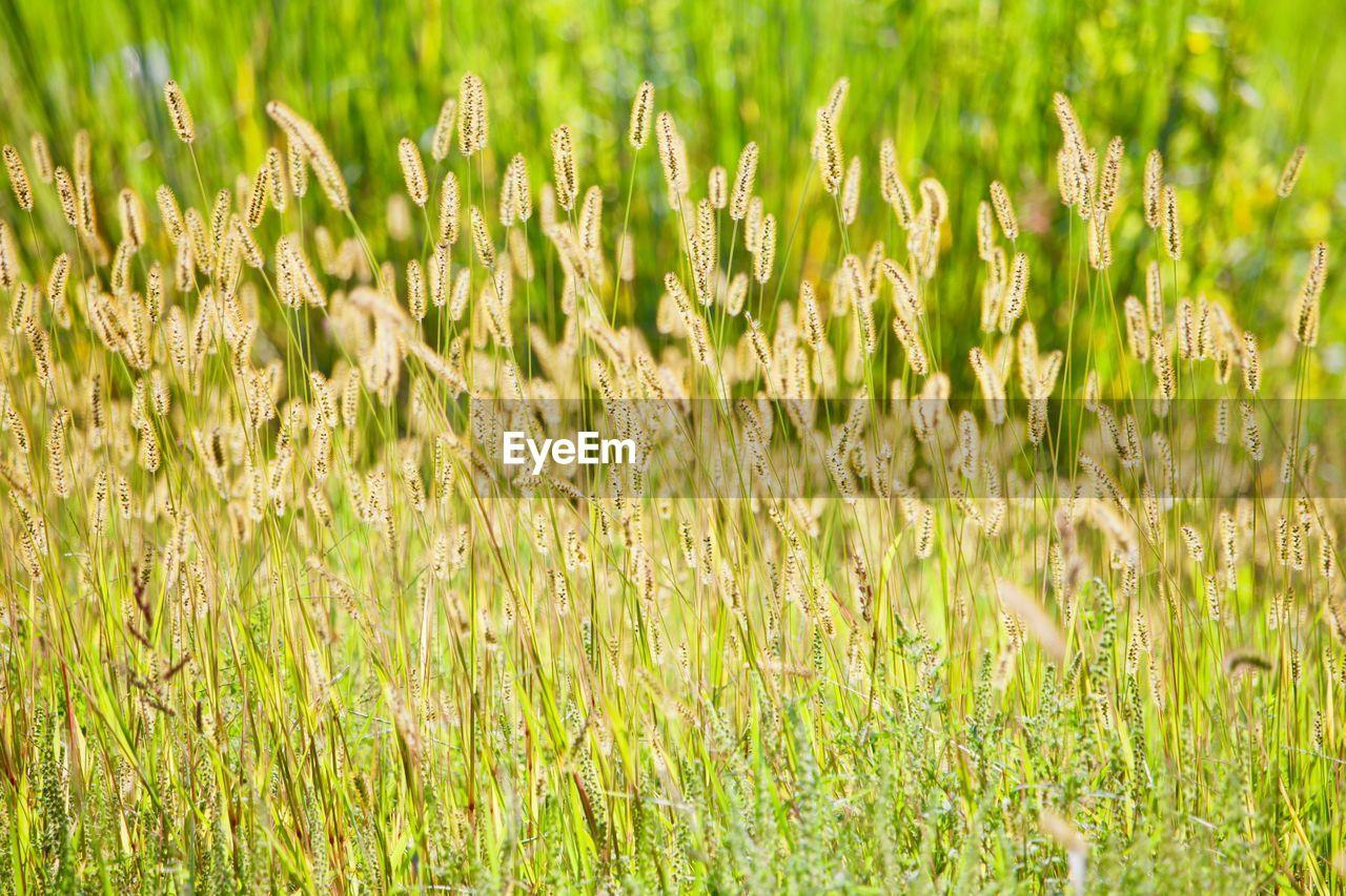 CROPS GROWING ON FARM