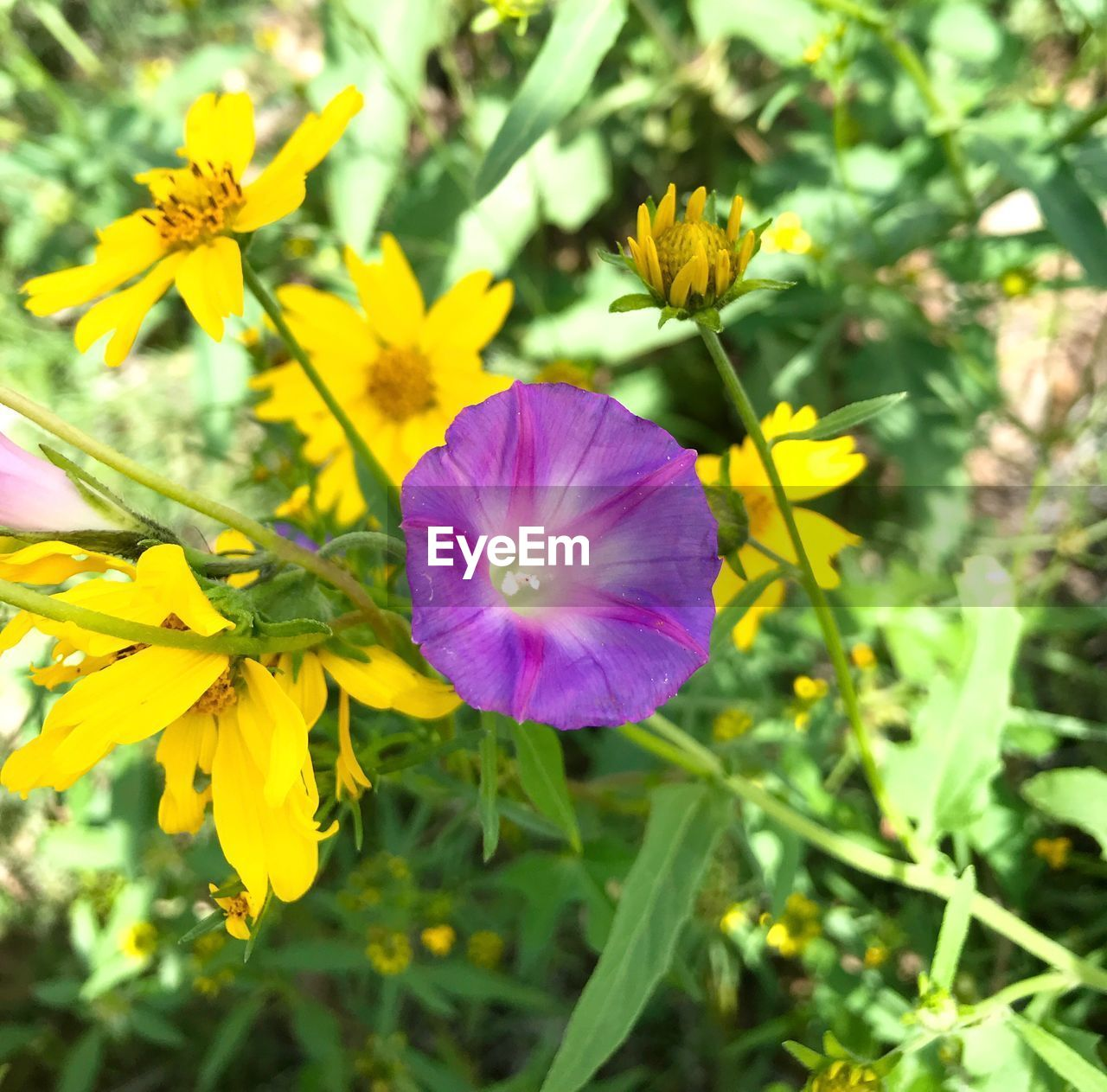 flower, flowering plant, freshness, plant, fragility, vulnerability, beauty in nature, petal, growth, inflorescence, flower head, close-up, nature, yellow, purple, day, no people, focus on foreground, selective focus, botany
