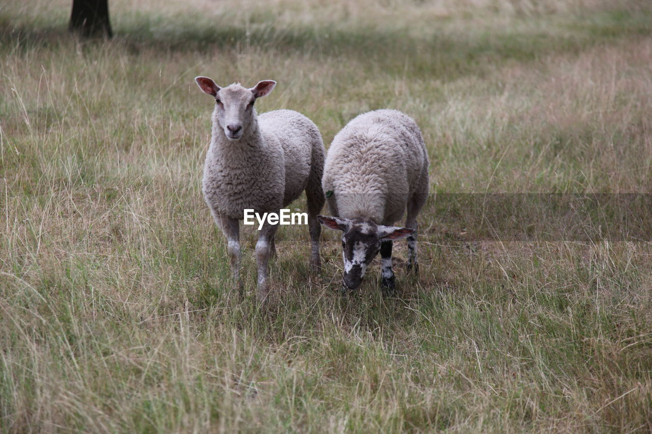 grass, animal themes, animal, mammal, plant, group of animals, sheep, livestock, vertebrate, domestic animals, field, two animals, land, lamb, domestic, pets, portrait, nature, looking at camera, young animal, no people, outdoors, herbivorous, animal family