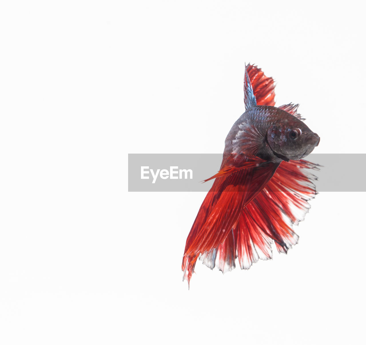 copy space, studio shot, animal, animal themes, white background, vertebrate, bird, one animal, indoors, no people, animals in the wild, animal wildlife, red, spread wings, flying, cut out, close-up, nature, parrot, feather