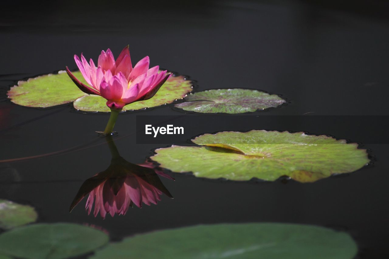 water lily, leaf, plant part, beauty in nature, flower, plant, floating, lake, floating on water, freshness, flowering plant, close-up, growth, vulnerability, lotus water lily, water, lily, fragility, nature, pink color, flower head, no people, outdoors, purple, leaves