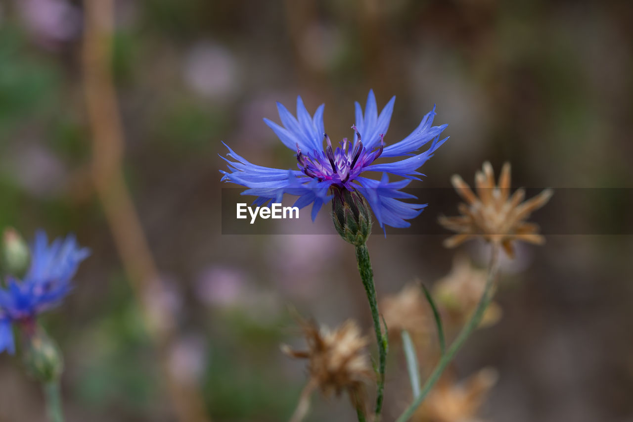 flowering plant, flower, plant, fragility, vulnerability, beauty in nature, freshness, growth, close-up, purple, petal, flower head, focus on foreground, nature, selective focus, inflorescence, no people, day, outdoors, botany, sepal