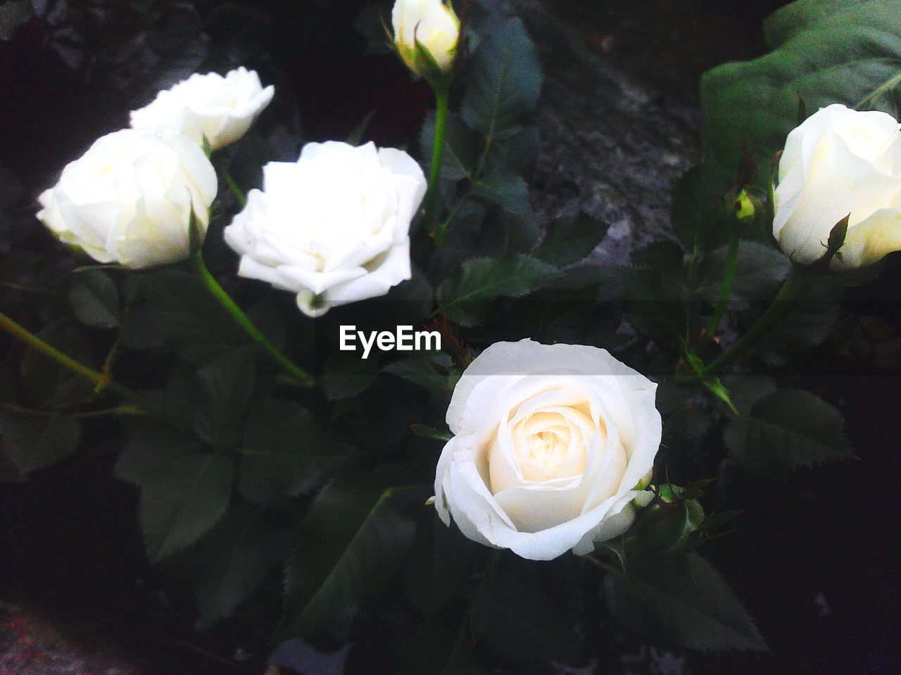High Angle View Of White Rose Flowers Growing In Yard