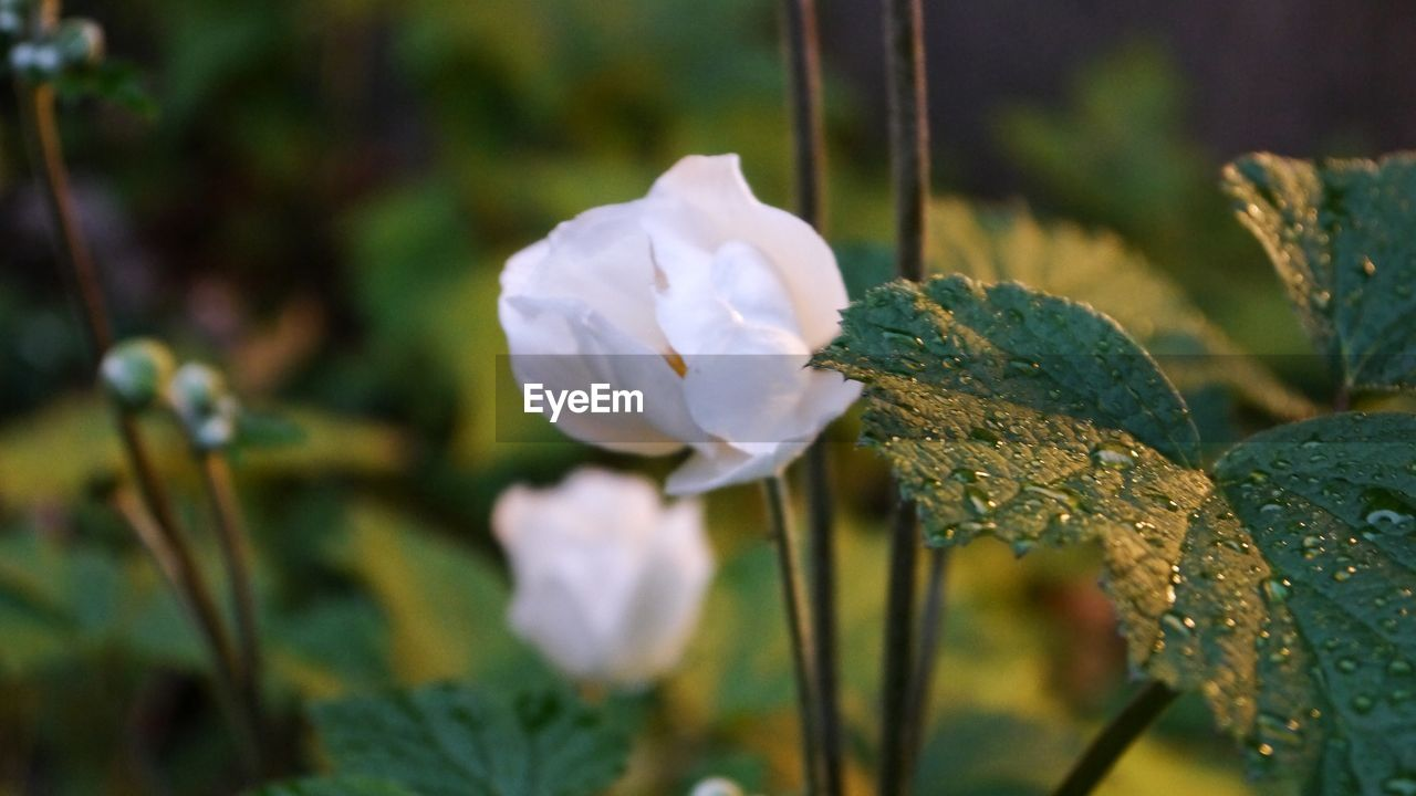 flower, nature, growth, beauty in nature, plant, fragility, petal, freshness, close-up, flower head, outdoors, no people, day, leaf, blooming