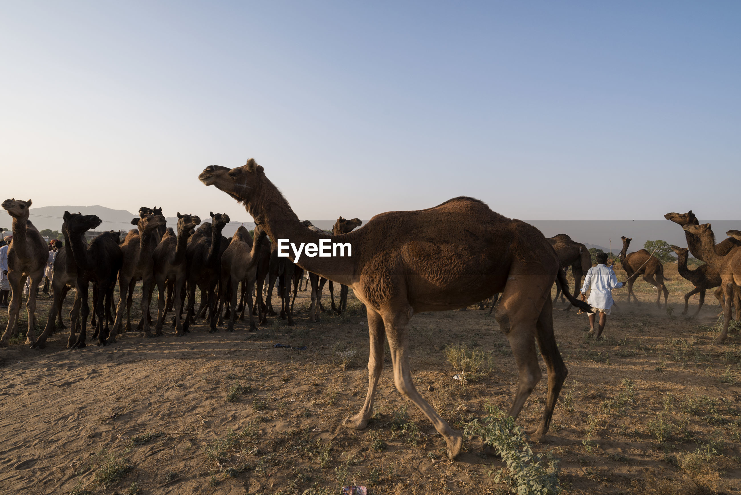 Camels standing on field against clear sky