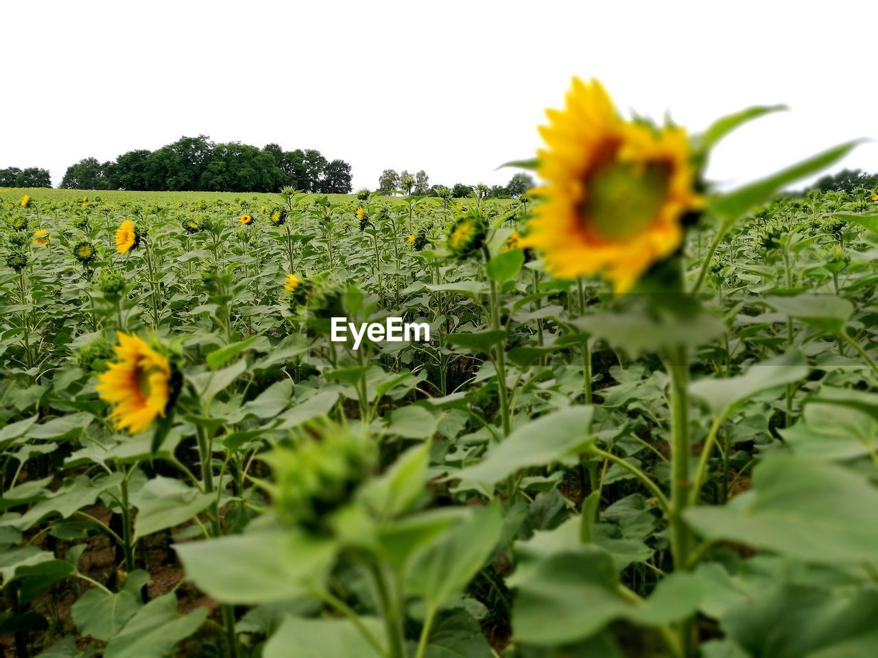 plant, flower, growth, flowering plant, yellow, beauty in nature, fragility, freshness, vulnerability, selective focus, field, nature, petal, land, green color, close-up, flower head, sky, landscape, no people, sunflower