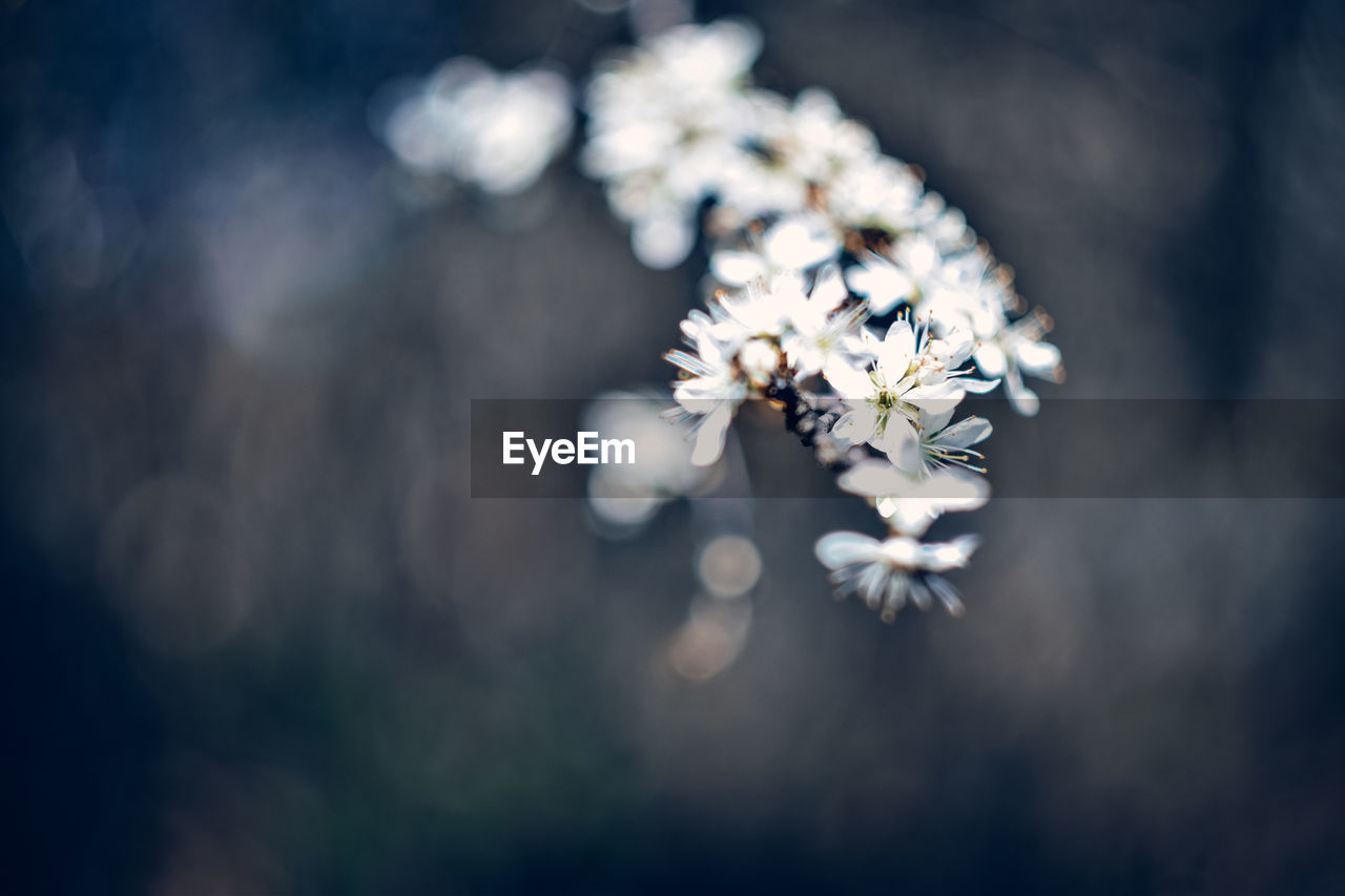 flower, flowering plant, plant, freshness, beauty in nature, fragility, growth, selective focus, vulnerability, nature, white color, close-up, day, no people, flower head, focus on foreground, inflorescence, outdoors, petal, tranquility, cherry blossom