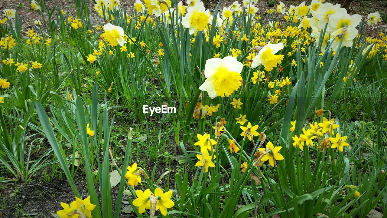 flower, yellow, growth, nature, field, plant, fragility, beauty in nature, daffodil, freshness, petal, blooming, outdoors, green color, no people, day, flower head, spring, tranquility, flowerbed, grass, close-up, crocus