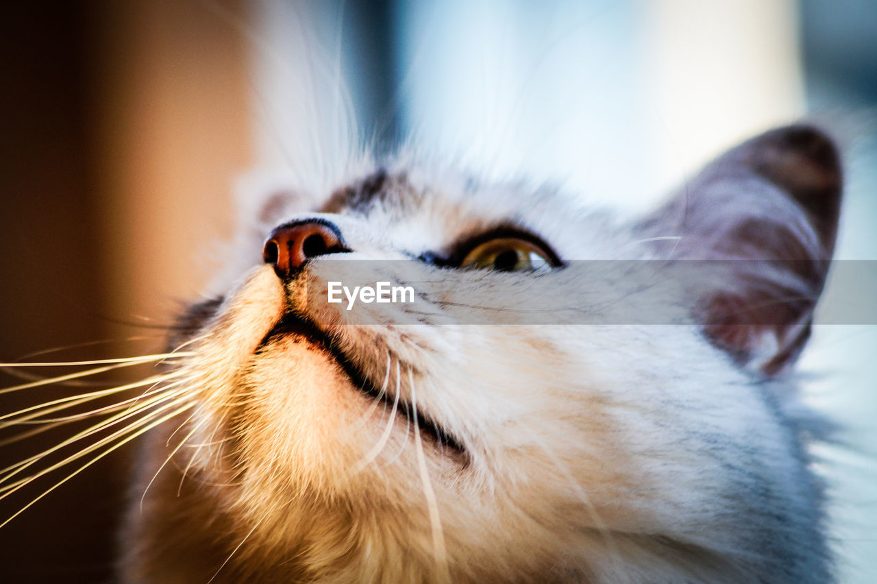 one animal, animal themes, animal, mammal, pets, domestic, domestic animals, cat, feline, close-up, animal body part, whisker, domestic cat, vertebrate, no people, looking, animal head, focus on foreground, looking away, indoors, animal eye, animal mouth, animal nose