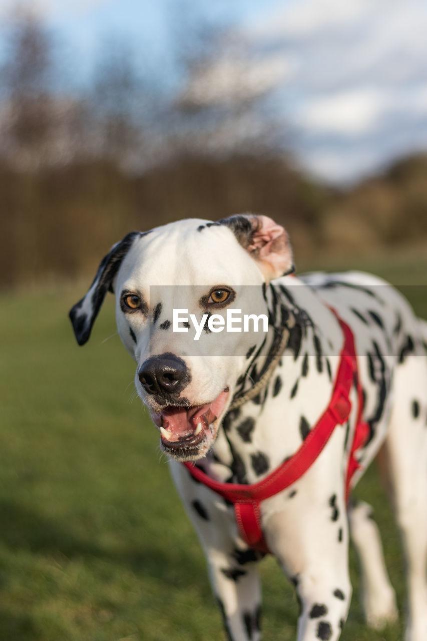 Portrait Of Dalmatian Dog On Field