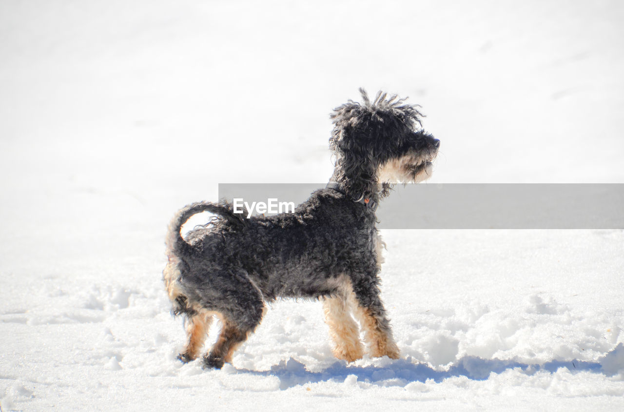 one animal, snow, mammal, pets, animal, winter, animal themes, canine, dog, domestic, cold temperature, domestic animals, vertebrate, field, land, nature, covering, no people, white color, snowing