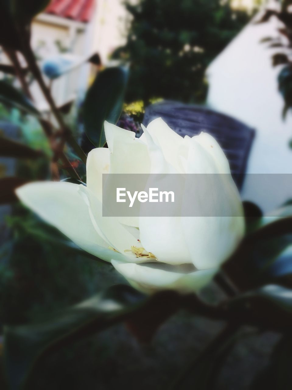 flower, petal, nature, beauty in nature, freshness, fragility, white color, growth, close-up, flower head, selective focus, no people, plant, day, outdoors, blooming