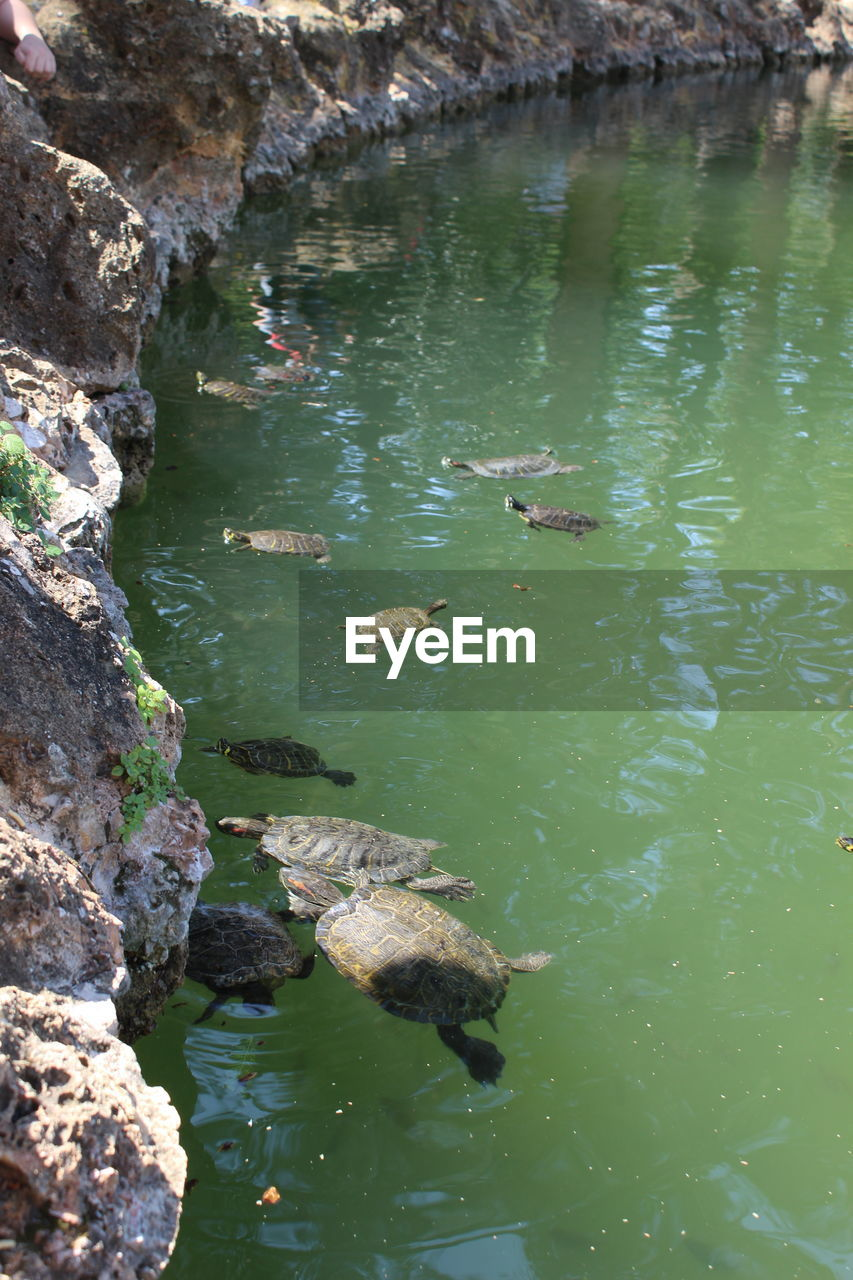 water, animal wildlife, animal, animals in the wild, animal themes, swimming, vertebrate, nature, high angle view, lake, group of animals, rock, day, solid, no people, rock - object, reptile, waterfront, reflection, outdoors, marine, floating on water