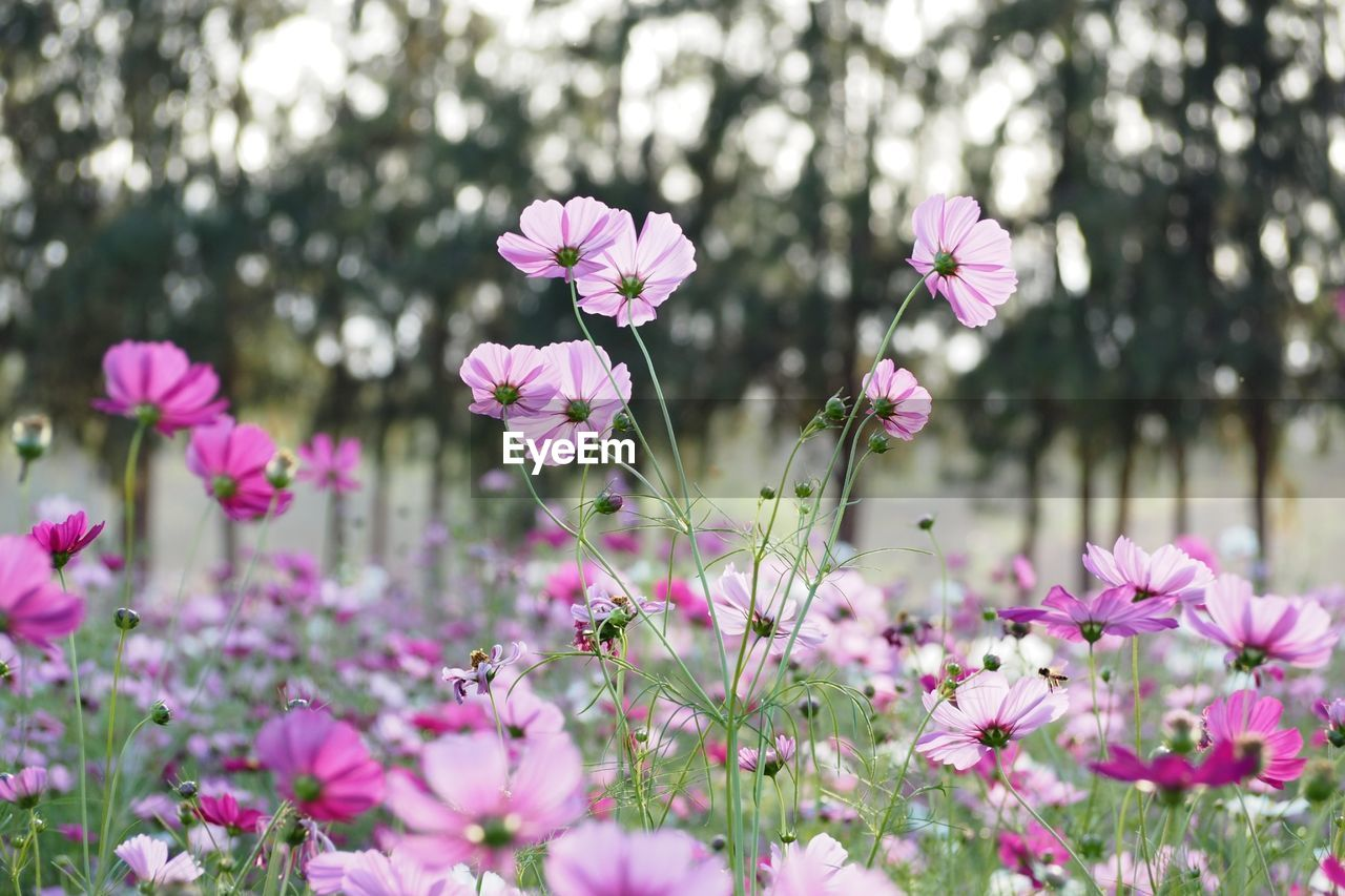 flower, fragility, nature, pink color, growth, beauty in nature, freshness, petal, plant, no people, blooming, day, cosmos flower, outdoors, flower head, field, close-up, osteospermum