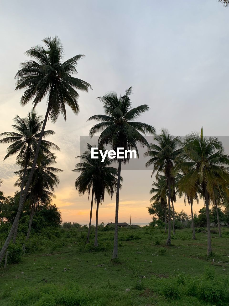 palm tree, tropical climate, tree, plant, sky, land, growth, nature, beauty in nature, coconut palm tree, scenics - nature, tranquility, environment, tall - high, tranquil scene, no people, landscape, outdoors, field, sunset, tropical tree