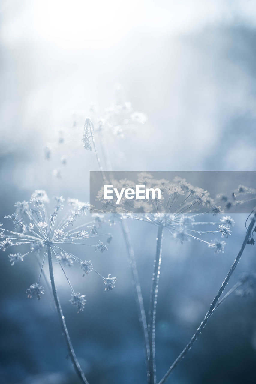 cold temperature, winter, beauty in nature, plant, frozen, nature, snow, fragility, ice, close-up, vulnerability, no people, focus on foreground, flower, day, selective focus, tranquility, growth, freshness, outdoors, dew