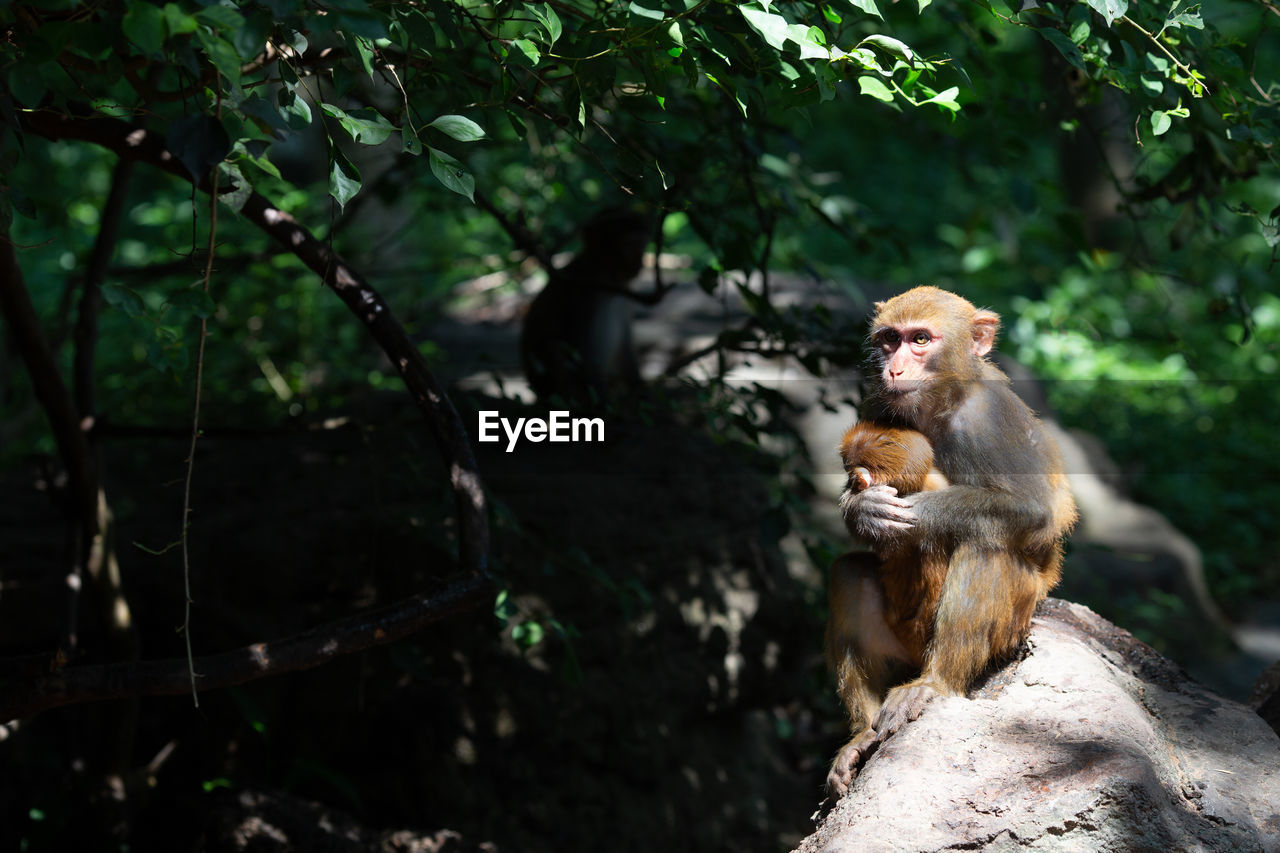 Two monkeys - mother and baby in natural habitat. china, hainan island. copy space