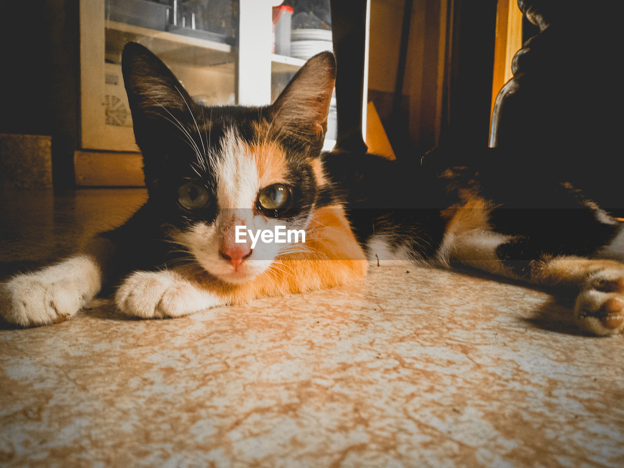 pets, domestic, domestic cat, cat, domestic animals, feline, mammal, animal themes, one animal, animal, portrait, vertebrate, looking at camera, relaxation, indoors, no people, home interior, whisker, flooring, lying down, animal eye
