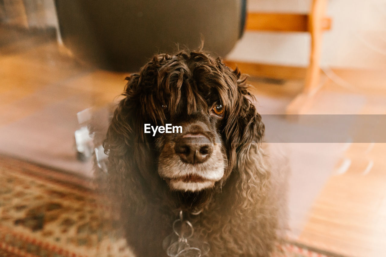 mammal, one animal, pets, domestic, dog, canine, domestic animals, indoors, vertebrate, focus on foreground, portrait, home interior, close-up, looking at camera, no people, flooring, relaxation