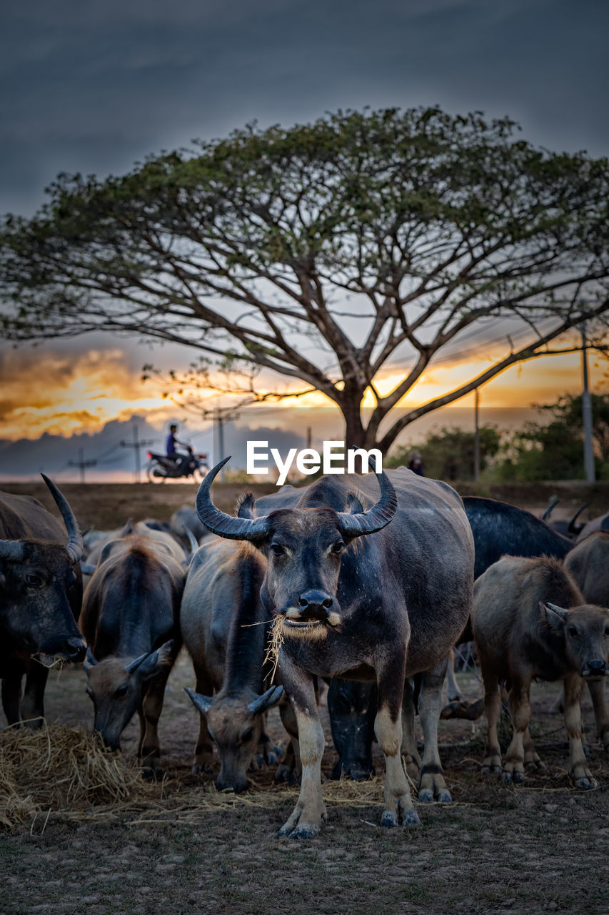 mammal, animal, group of animals, animal themes, vertebrate, domestic animals, domestic, livestock, pets, field, tree, land, sky, nature, no people, animal wildlife, herd, plant, cattle, large group of animals, outdoors, herbivorous