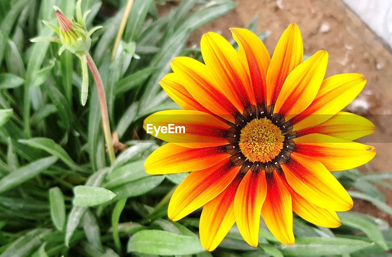flower, flowering plant, petal, fragility, vulnerability, plant, freshness, beauty in nature, flower head, inflorescence, growth, close-up, gazania, nature, yellow, day, pollen, focus on foreground, no people, leaf, outdoors